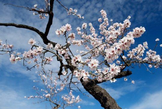 almond-blossom-boliqueime