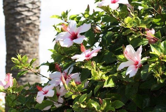 hibiscus-st-barbara