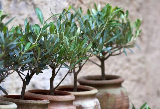 Olive-trees-in-pots-