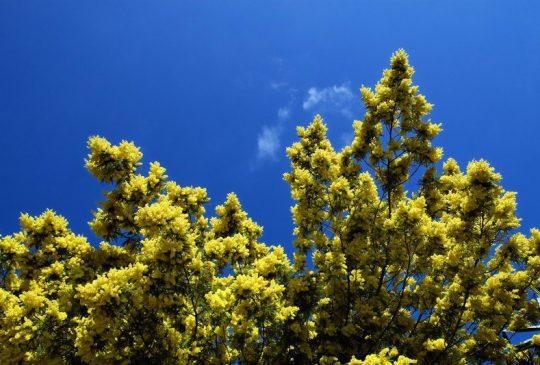 mimosa-Boliqueime
