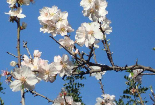 Almond Blossom Country