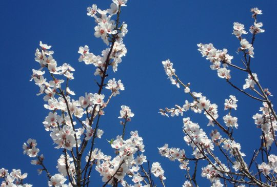 Almond-blossom-in-February