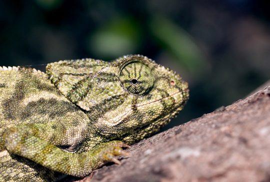 Cautious-Chameleon