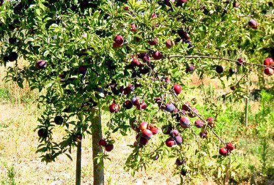 Fruittree Sao Bras de Alportel