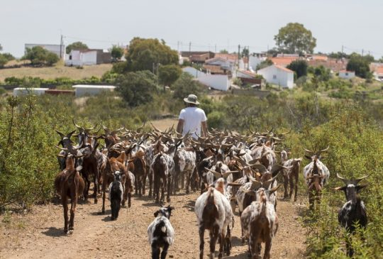 Goats to village