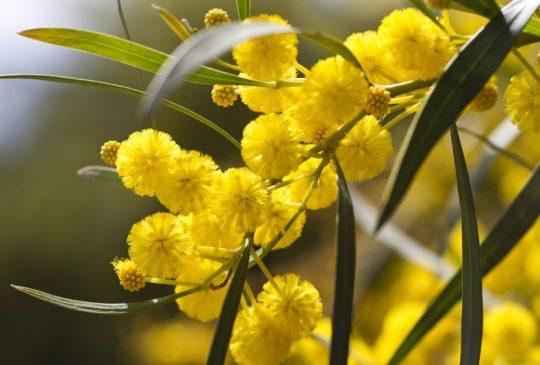 Mimosa Silves