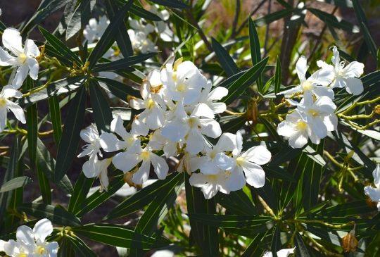 oleander-santa-barbara
