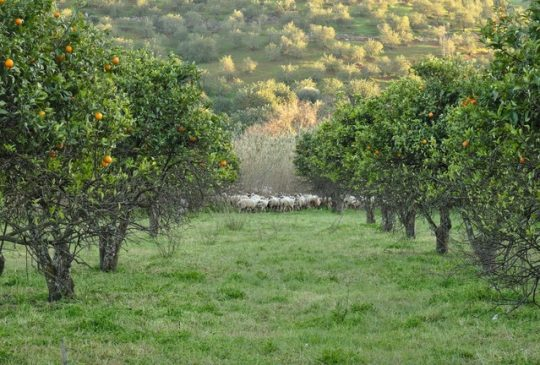 Oranges and sheep