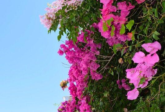 flowers-carvoeiro