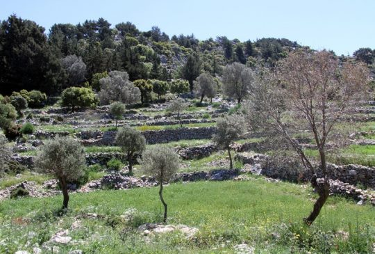 nature olive trees