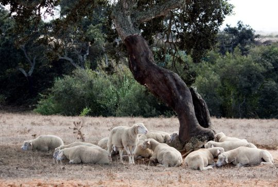 sheep under carob tree